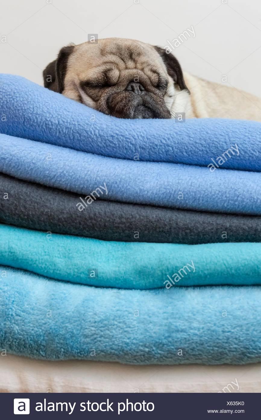 Pug dog lying on blankets - Stock Image