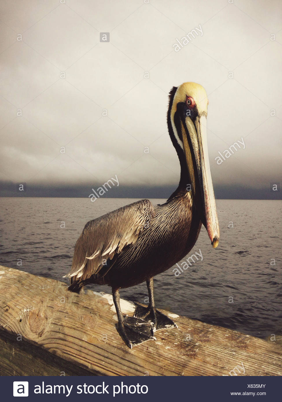 Pelican standing on pier Stock Photo