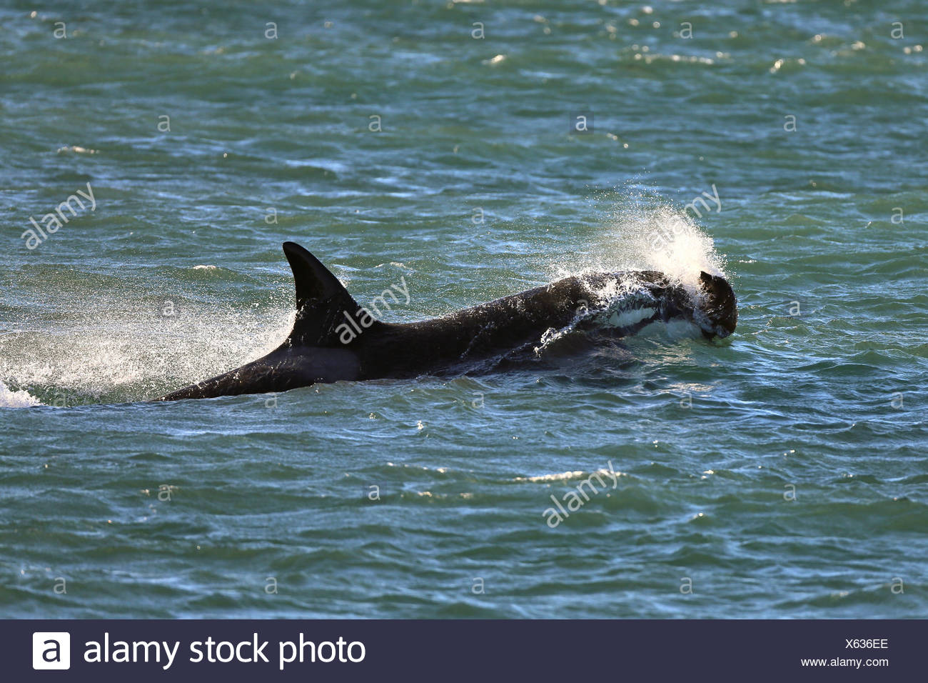 orca, great killer whale, grampus (Orcinus orca), attacking, Argentina, Patagonia, Valdes - Stock Image