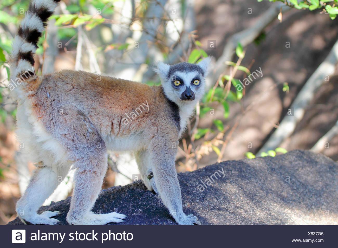 ring-tailed lemur (Lemur catta), walks over a branch, Madagascar, Andringitra Nationalpark - Stock Image