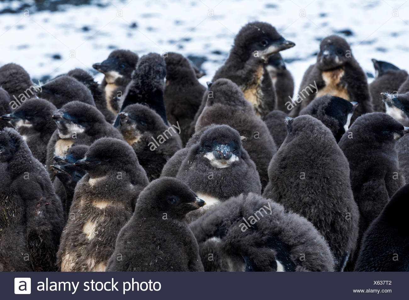 A creche of fluffy Adelie Penguin chicks on a beach in Antarctica. - Stock Image