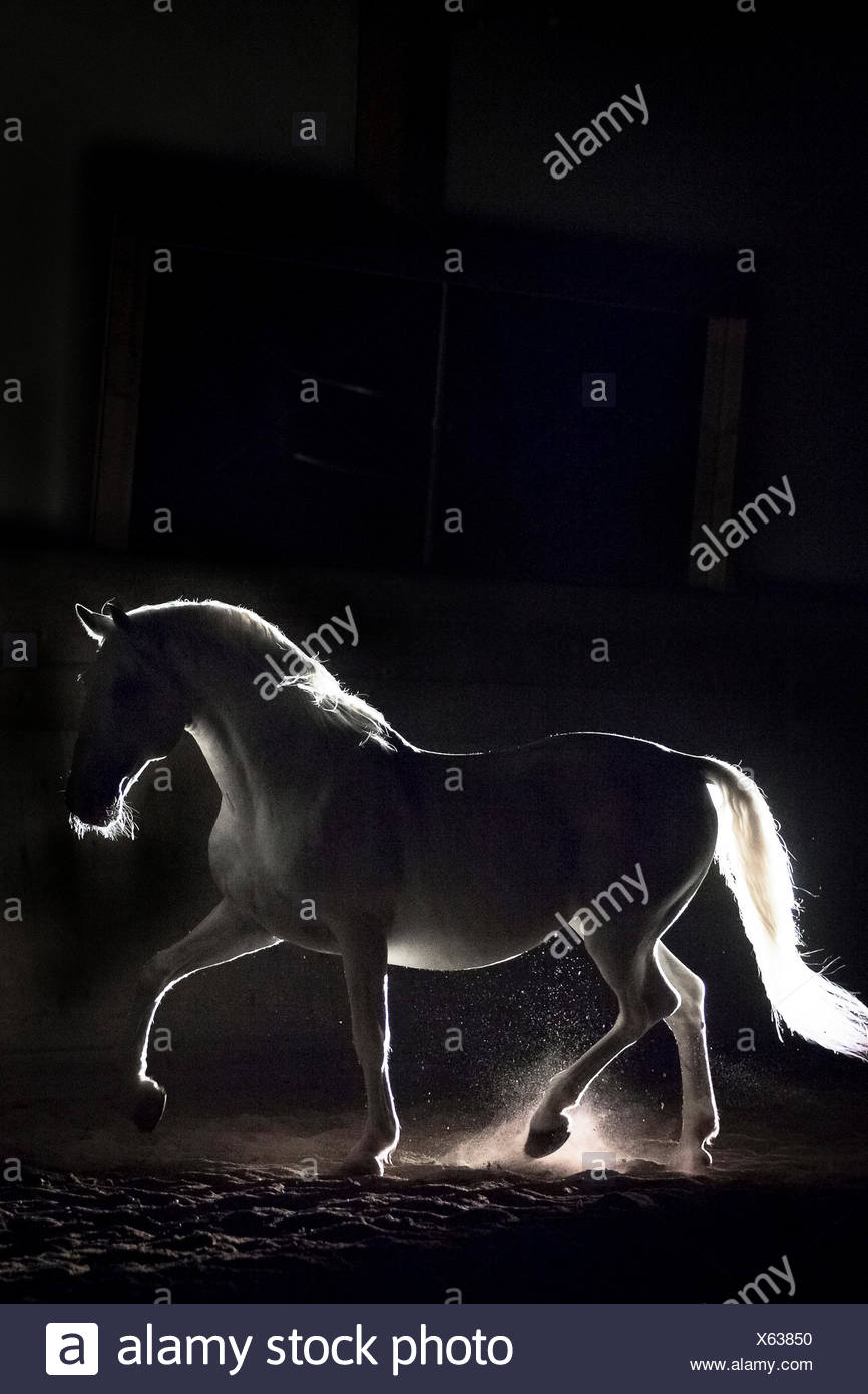 Lipizzan horse. Adult stallion (Siglavy Capriola Primas) walking in darkness. Austria - Stock Image