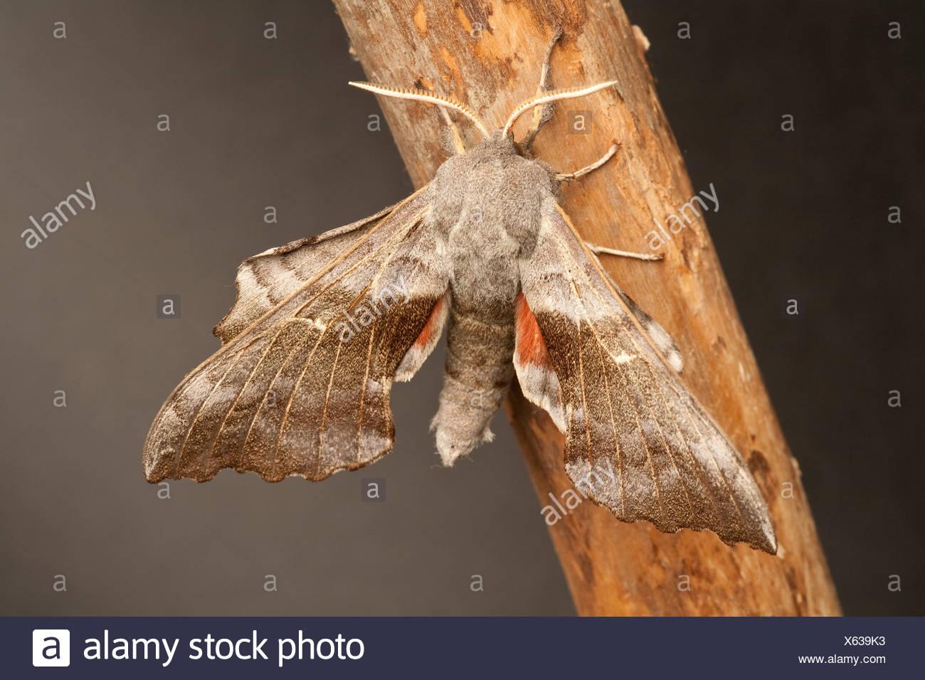 Poplar Hawkmoth Loathoe populi - Stock Image