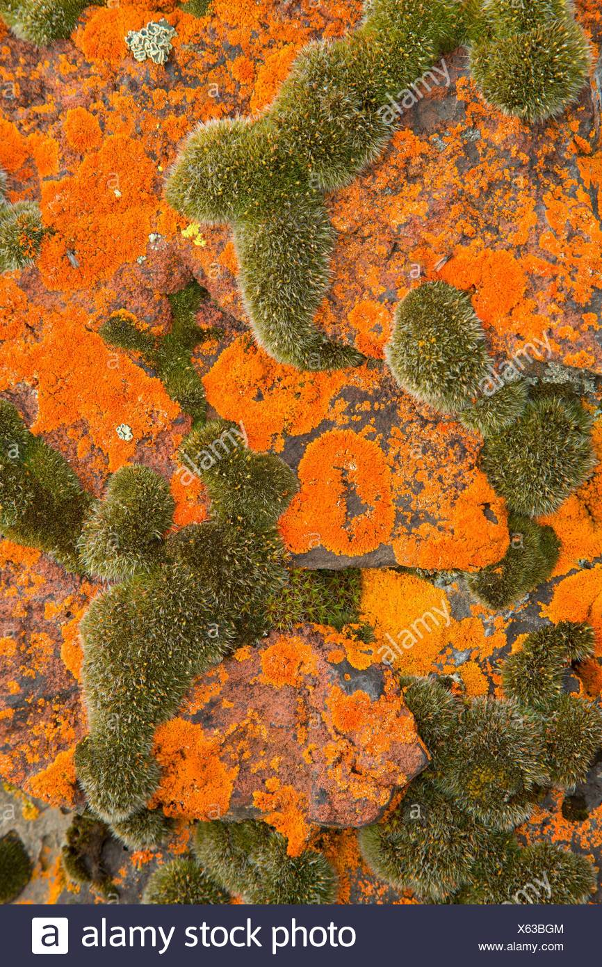 Lichen, Warner Wetlands Area of Critical Environmental Concern, Lakeview to Steens National Back Country Byway, Oregon. - Stock Image