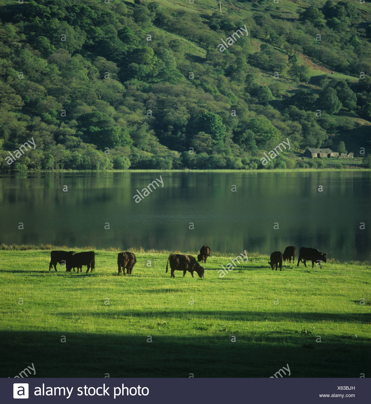 Welsh Black cattle grazing by Snowdonia lake in early summer - Stock Image