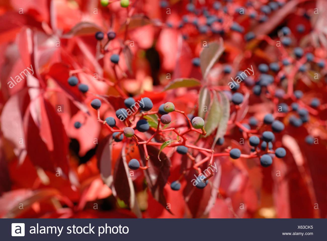 Virginia creeper (Parthenocissus quinquefolia) Stock Photo