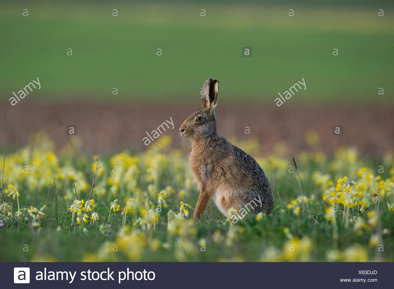 Brown Hare Lepus europaeus among Oxlips Norfolk spring - Stock Image