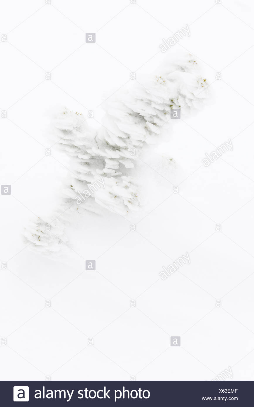 snow covered spruce, Lapland, Sweden - Stock Image