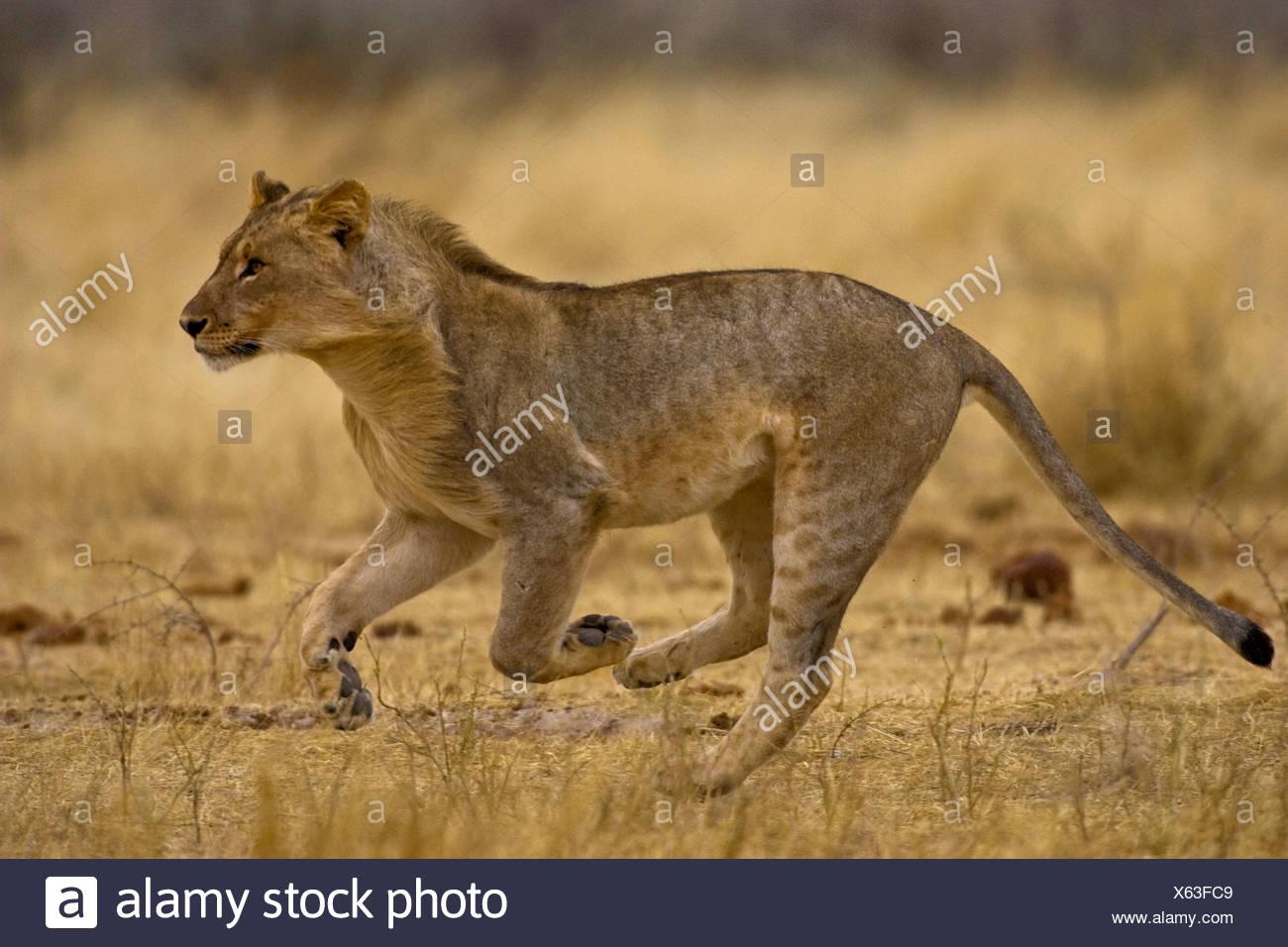 Young lion running, Etosha National Park, Namibia - Stock Image