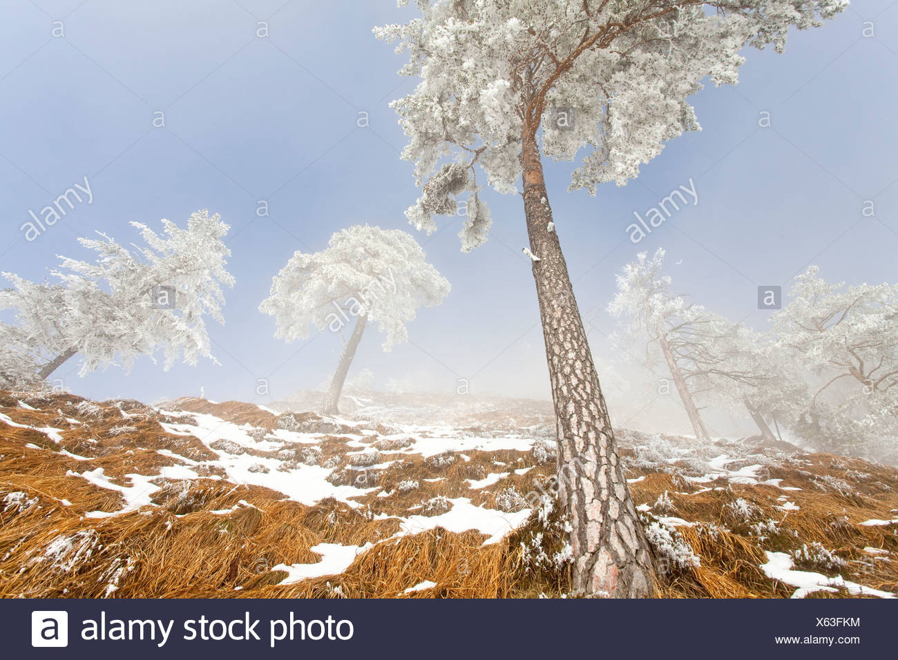 Snow-covered pine trees (Pinus sylvestris) at Untersberg mountain, Berchtesgaden, Germany, low angle view - Stock Image