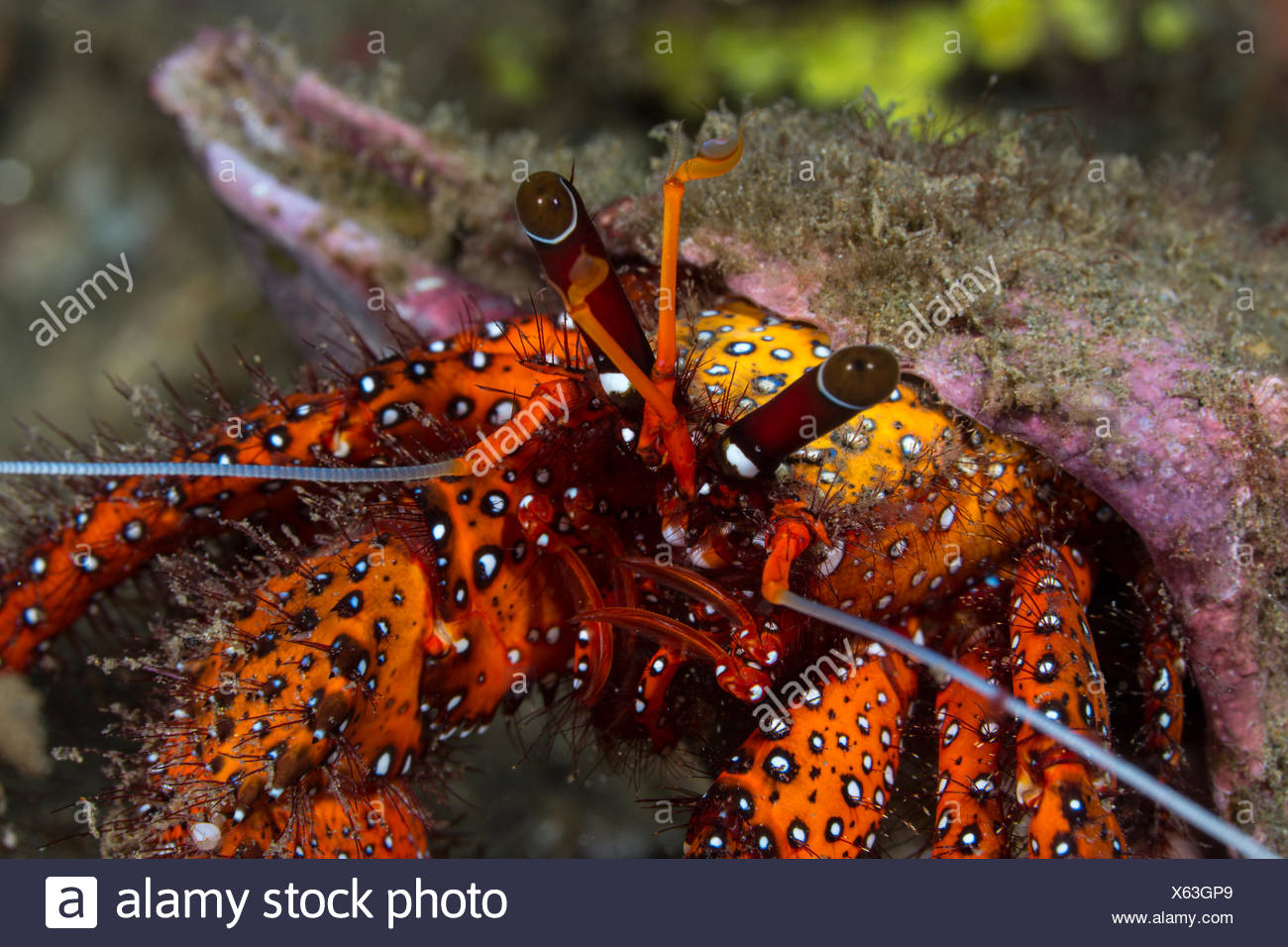 White-spotted Hermit Crab, Dardanus megistos, Ambon, Indonesia - Stock Image