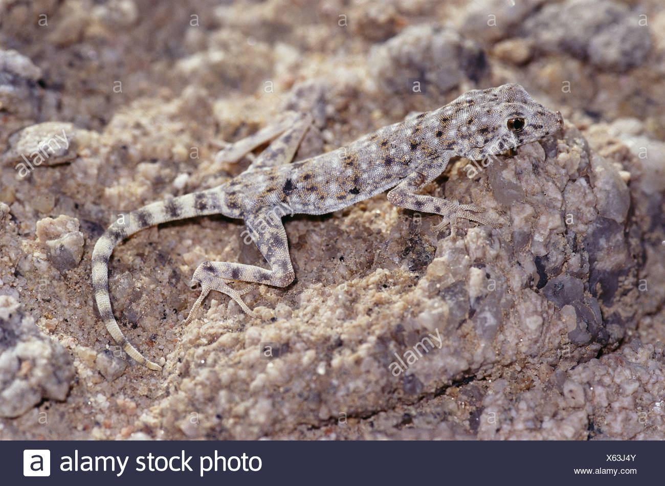 Namibia Tagesgecko Rhoptropus afer Namib Day Gecko adult gone round the bend day-actively Africa southwest-Africa Namibia Namib - Stock Image