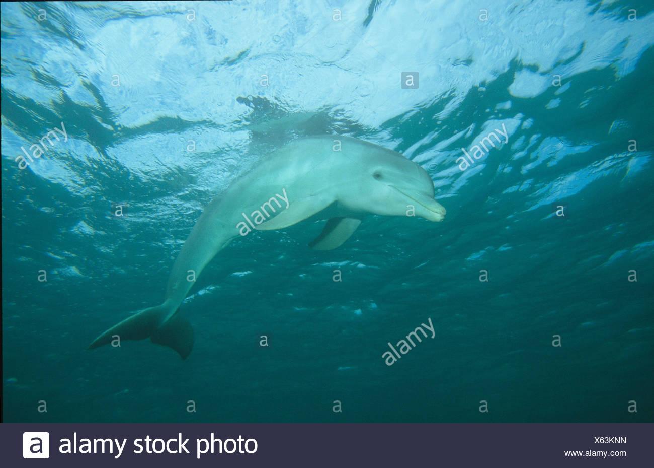 zoology, mammal / mammalian, dolphin (Delphinidae), Grand Bahama, Bahamas, Additional-Rights-Clearance-Info-Not-Available - Stock Image