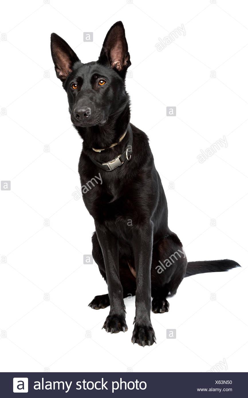 Black Short Haired Shepherd Stock Photo Alamy
