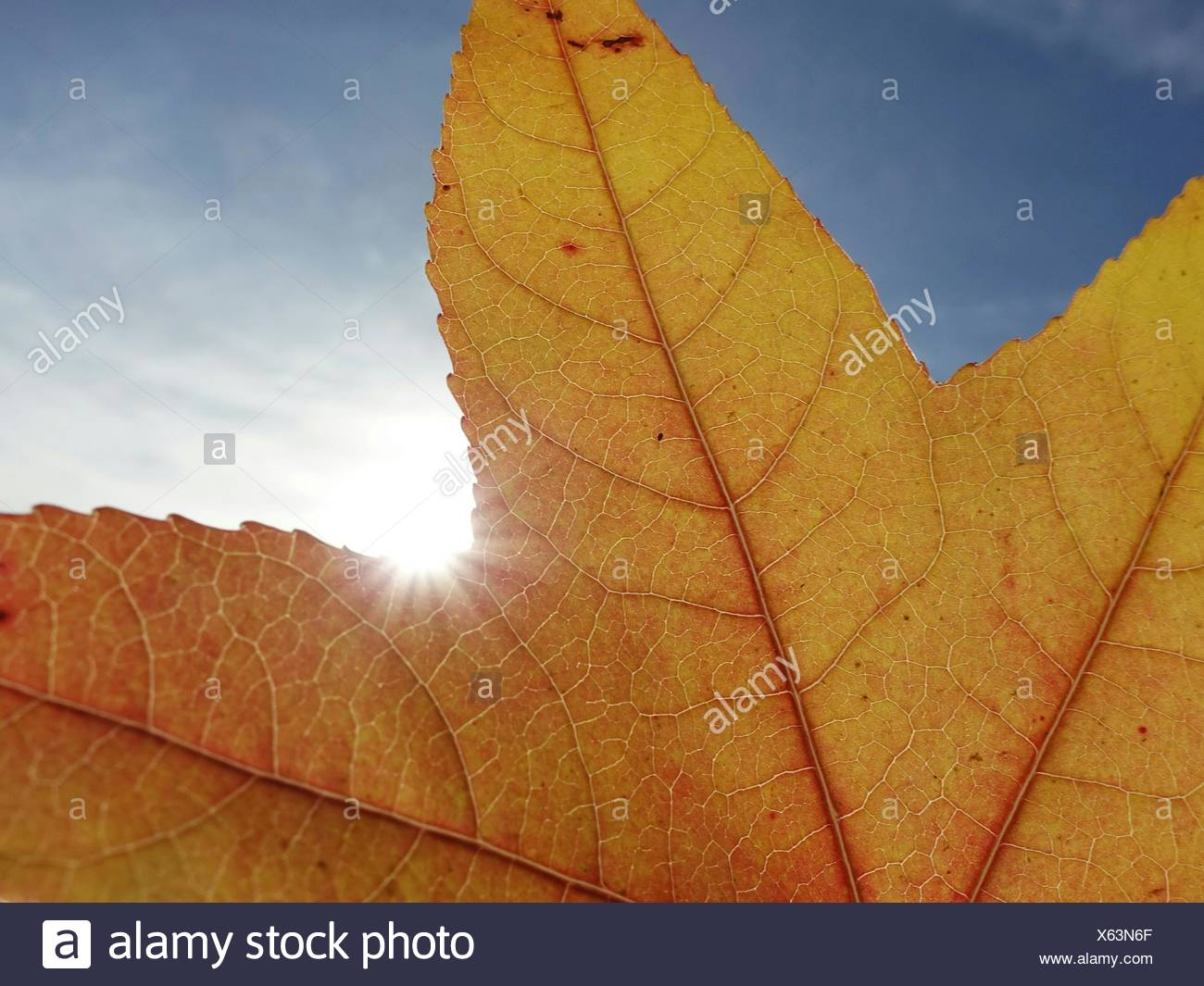 Close-Up Of Maple Leaf Against Sky - Stock Image