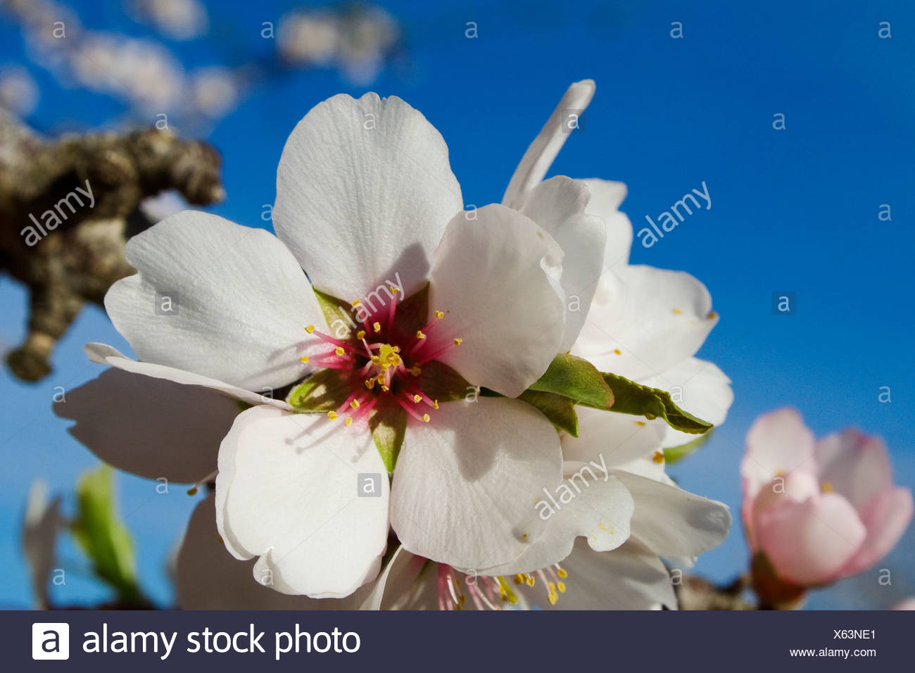 Agriculture - Closeup of almond blossoms in full bloom in late Winter / Glenn County, California, USA. - Stock Image