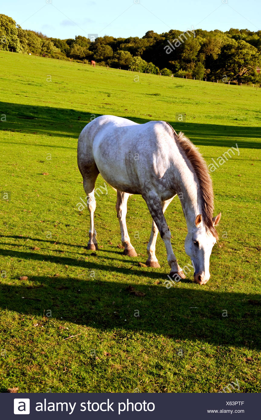 Friendly horse in the Chilterns - Stock Image