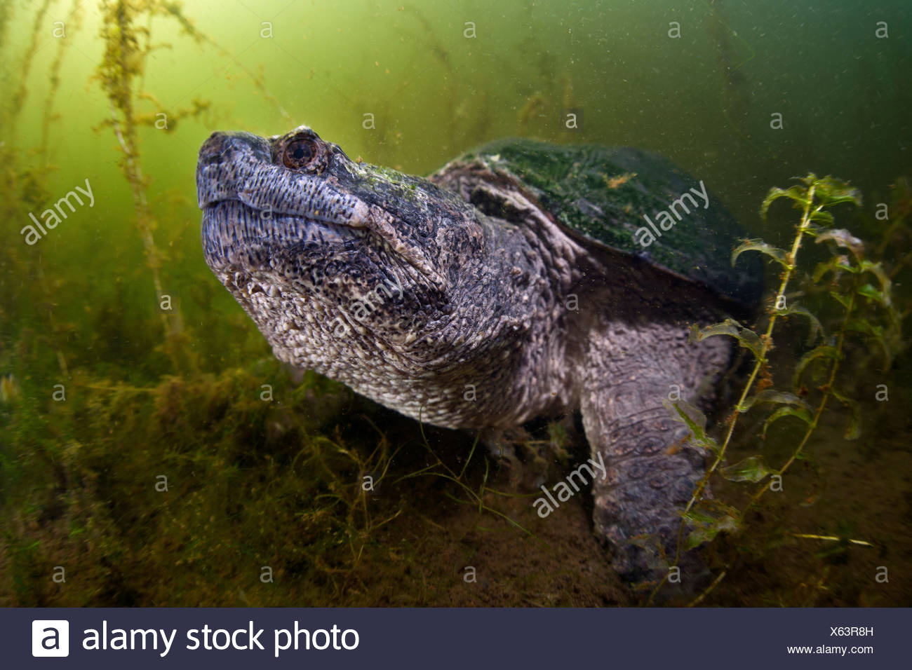 Common Snapping Turtle, Chelydra serpentina, Massachusetts, Cape Cod, USA Stock Photo