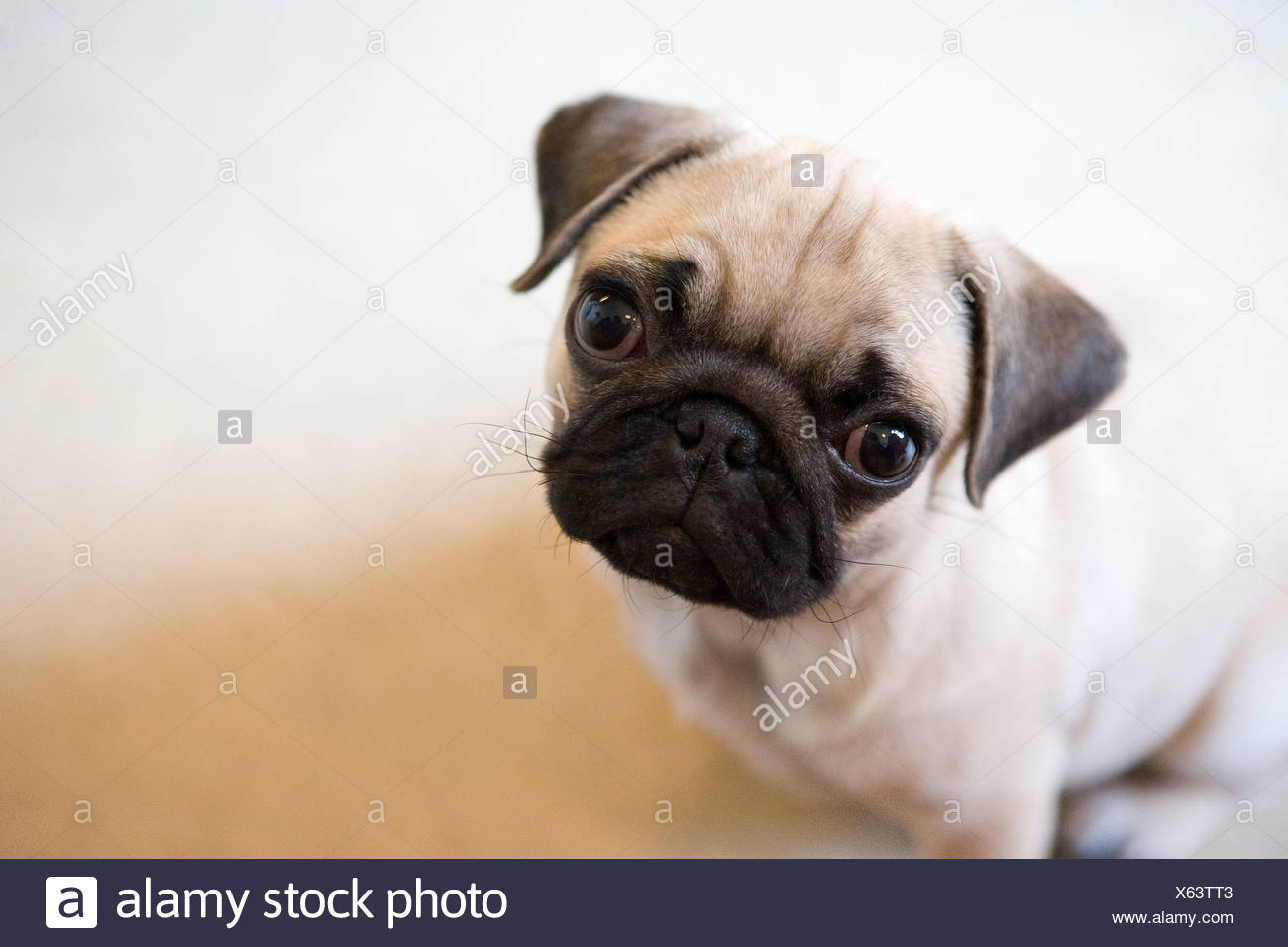 A pug puppy paying attention to the camera - Stock Image