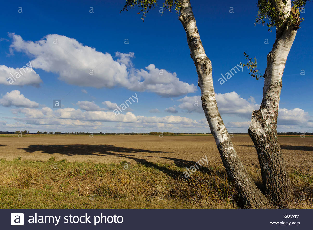 birch trees in marshland, diepholzer moorniederung, diepholz district, niedersachsen, germany - Stock Image