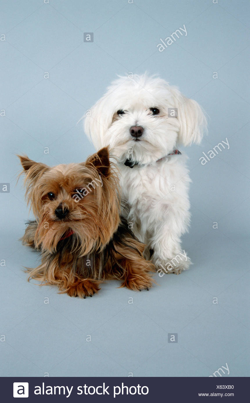 Maltese and Yorkshire Terrier - Stock Image