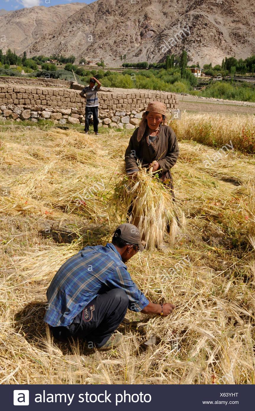 Ladakhis harvesting with the sickle, Leh, Ladakh, Northern India, the Himalayas, Asia - Stock Image