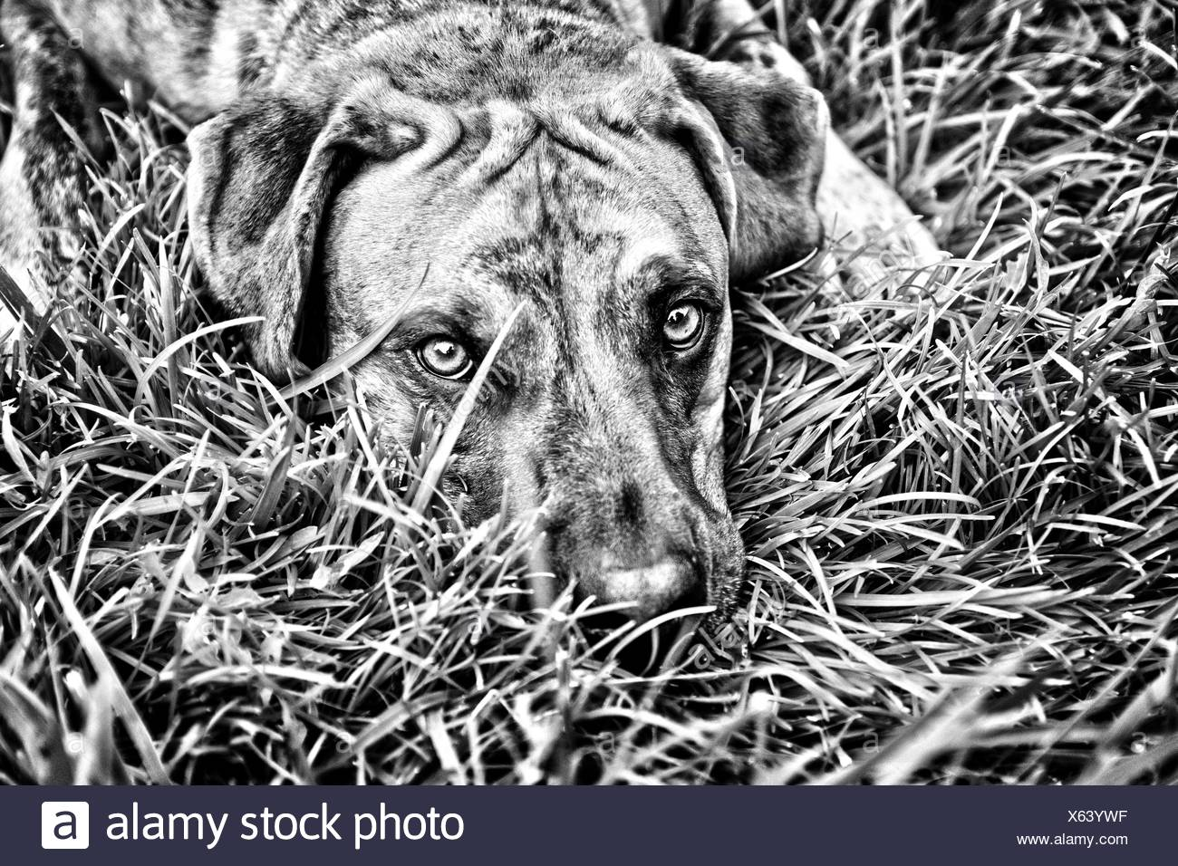 Dog lying in grass - Stock Image