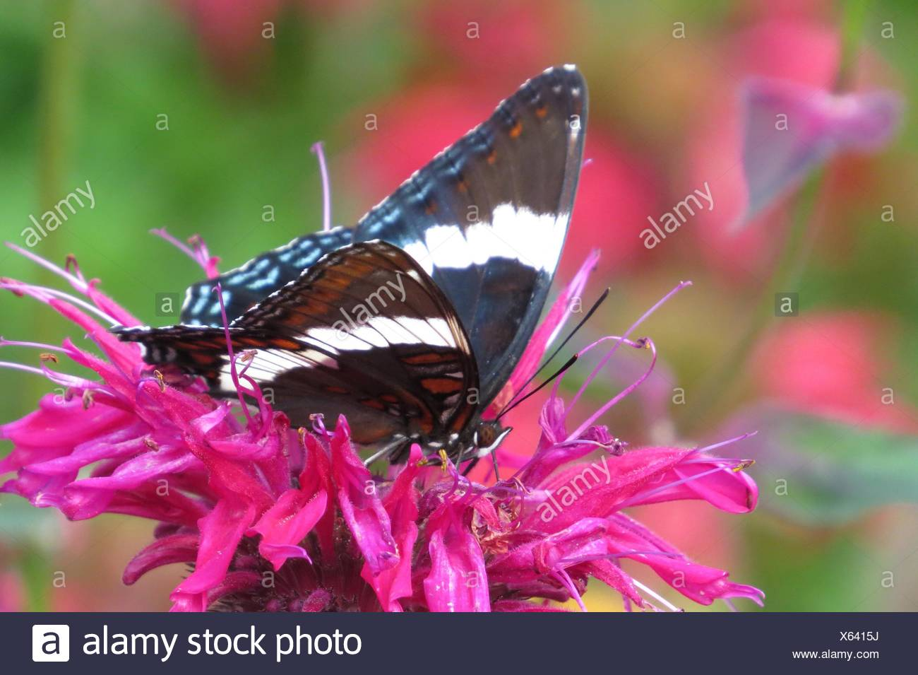 White Admiral Butterfly on bee balm Stock Photo
