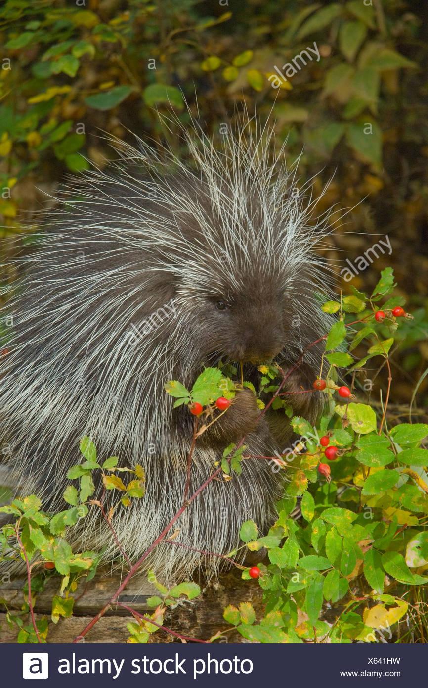 Porcupine (Erethizon dorsatum) nibbles on wild Rose hips in autumn, Montana, USA Stock Photo
