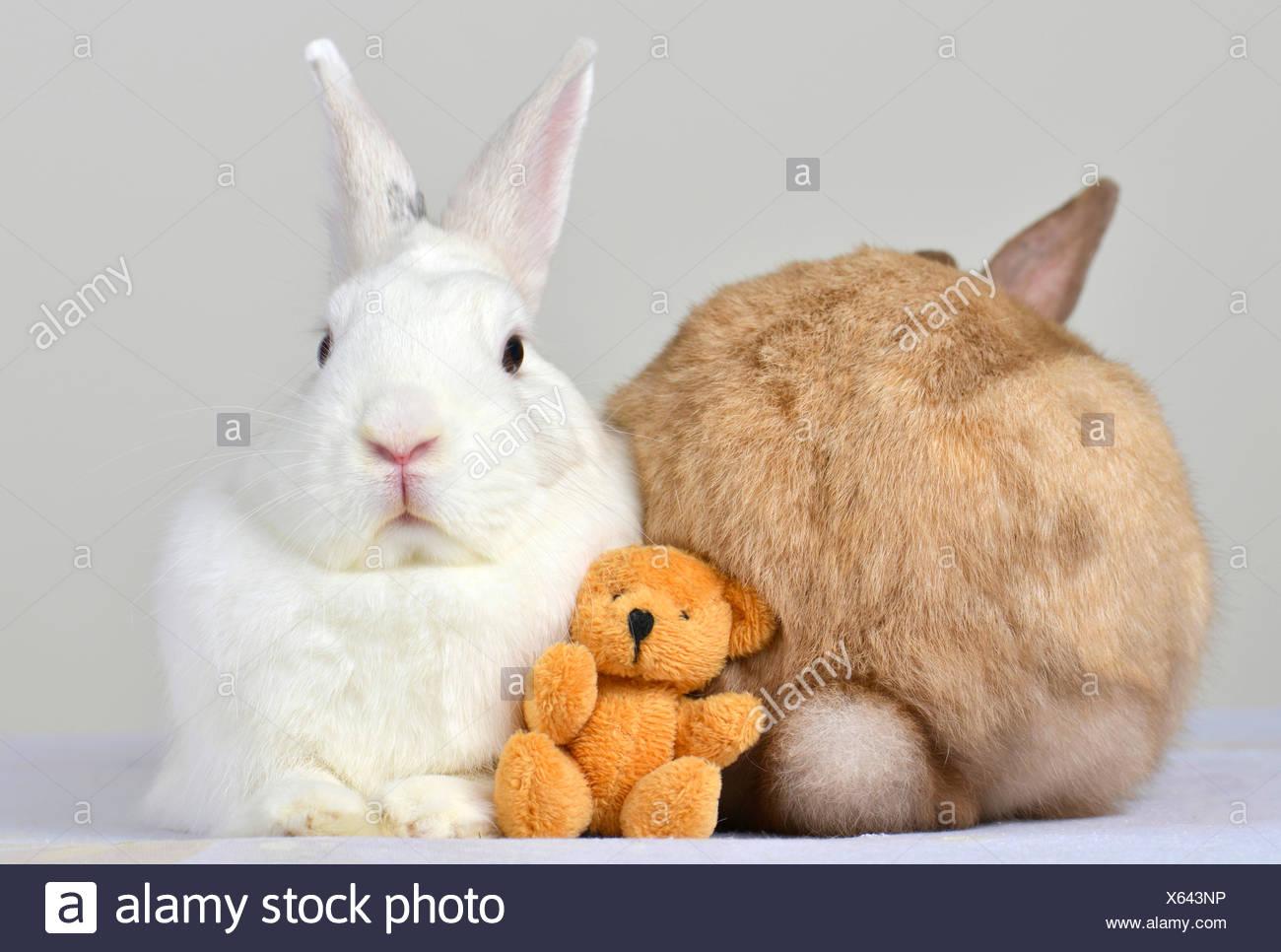 teddy dwarf rabbits stock photos teddy dwarf rabbits stock images