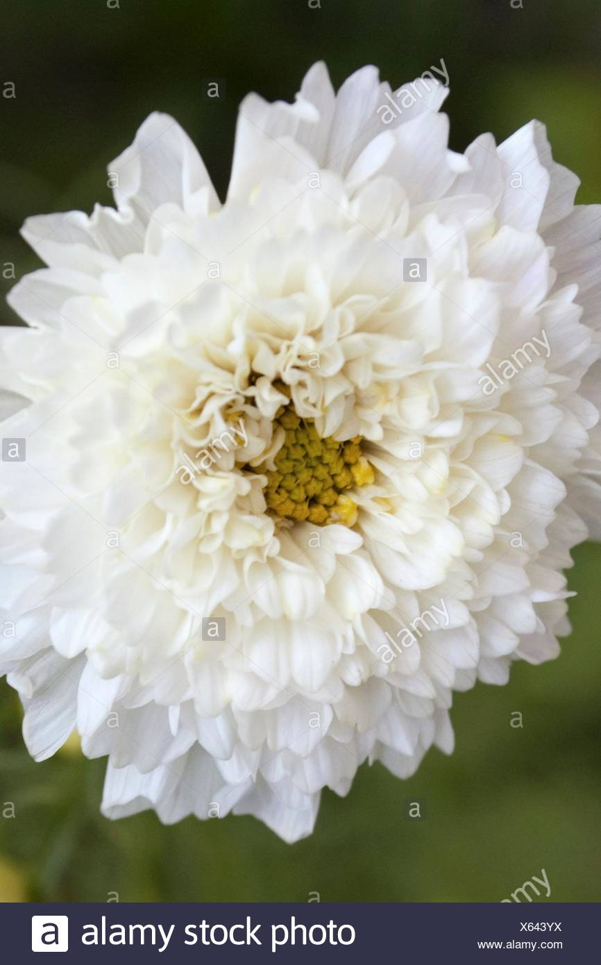 Cosmo Flower Stock Photos Cosmo Flower Stock Images Alamy