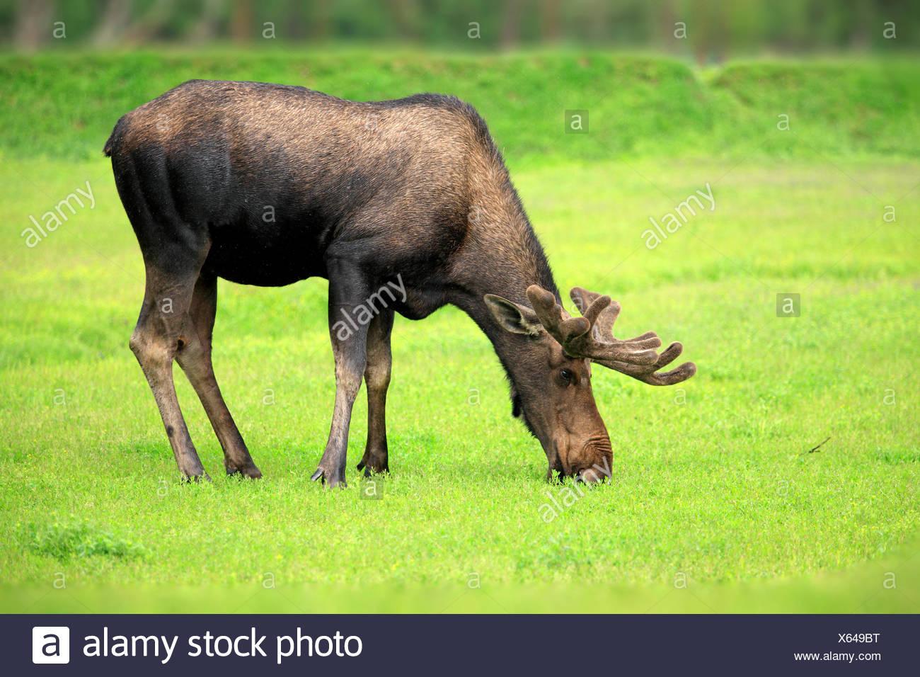 Moose, adult male feeding, Alaska Wildlife Conversation Center, Anchorage, Alaska, USA, Northamerica / (Alces alces) - Stock Image