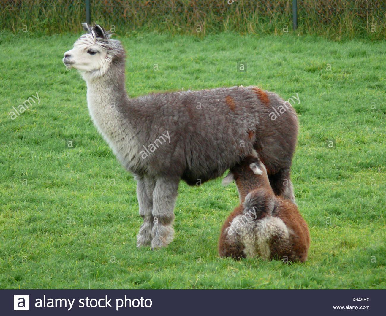 alpaca (Lama pacos), mare suckling a foal - Stock Image