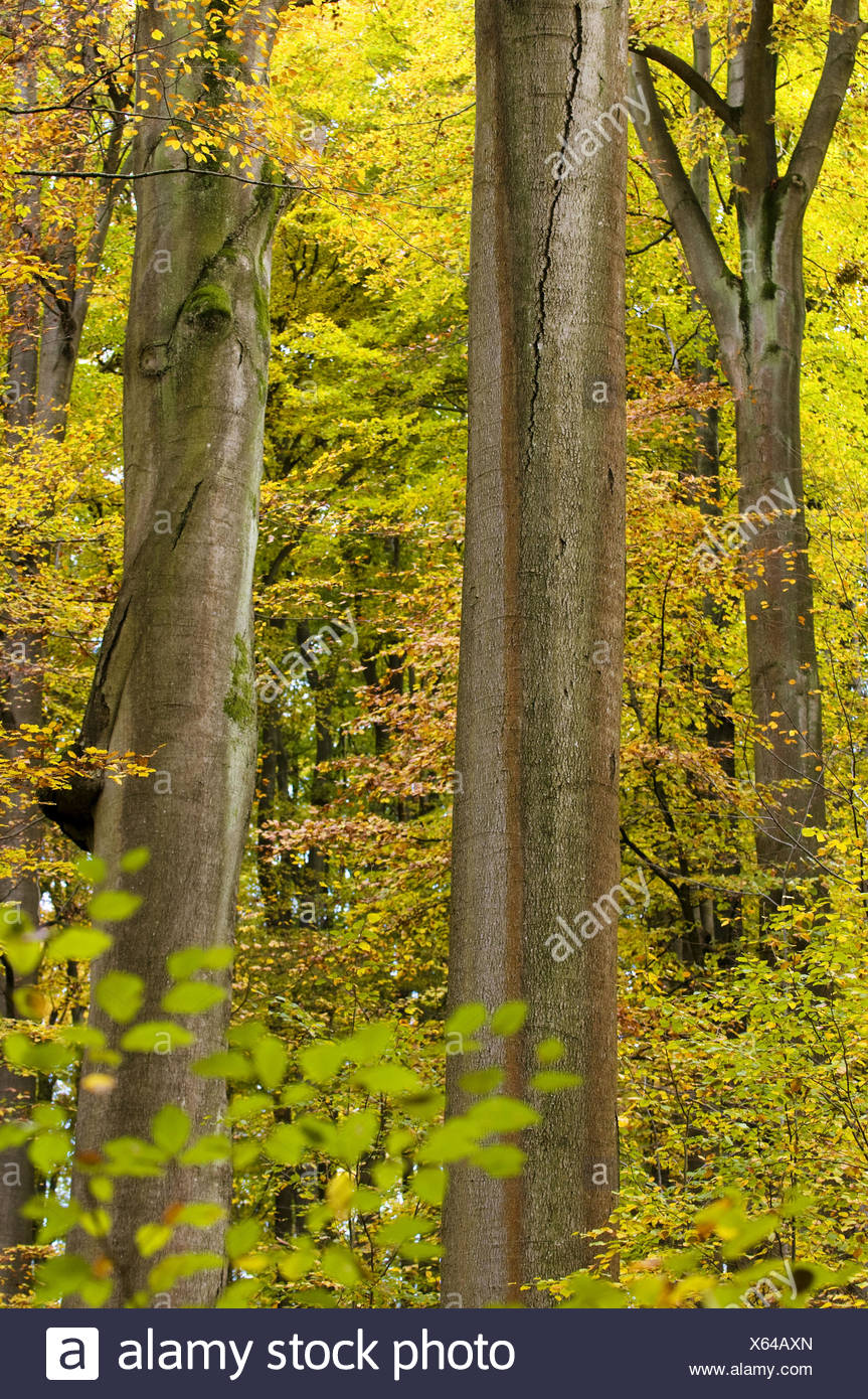 Primeval beech forest, trunks of a beeches, colours of autumn, Steigerwald, Bavaria, Germany - Stock Image