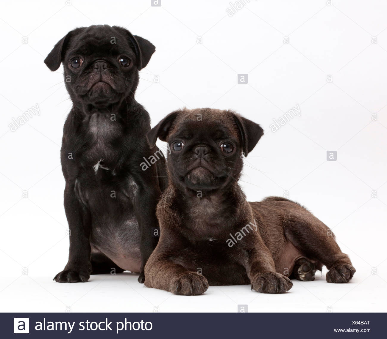 Black Pug and Platinum Pug pups. - Stock Image