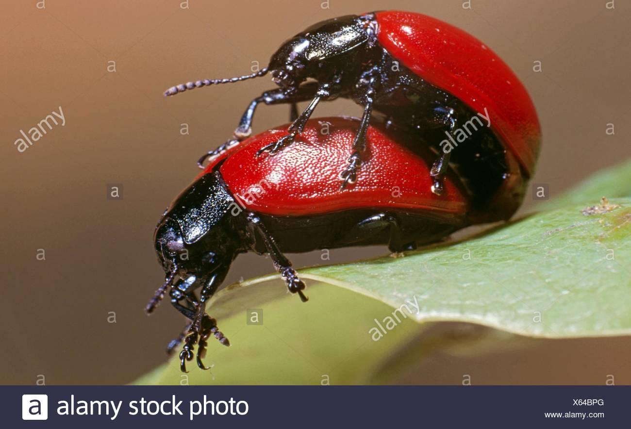 Chrysomela populi mating - Stock Image