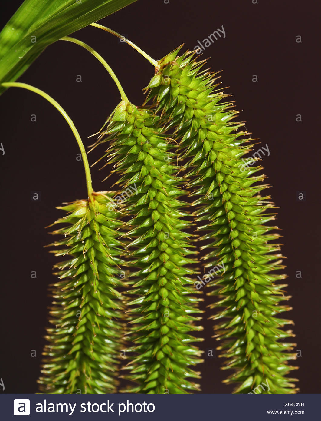 Close up of female spikelets of Cyperus Sedge (Carex pseudocyperus) hanging down - Stock Image