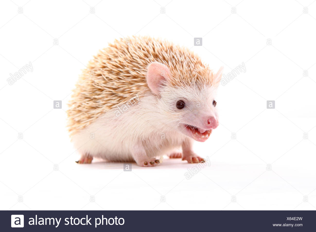 Four-toed Hedgehog, African Pygmy Hedgehog (Atelerix albiventris). Male standing. Studio picture against a white background. Germany - Stock Image