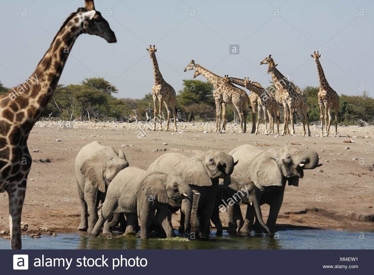 Elephants and giraffes drinking at watering hole, Namibia - Stock Image