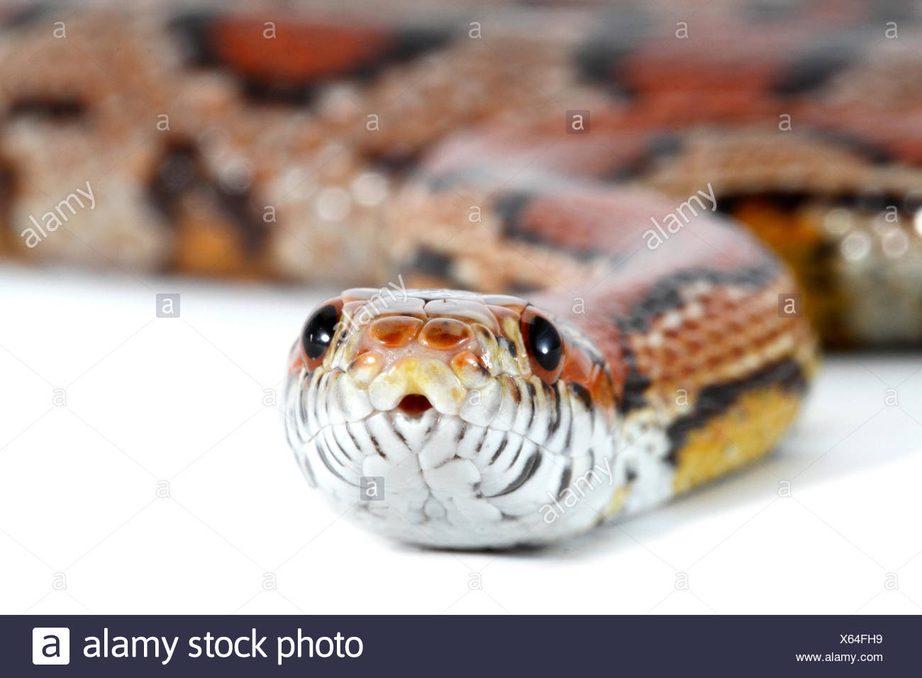 Cornsnake Stock Photos & Cornsnake Stock Images - Alamy