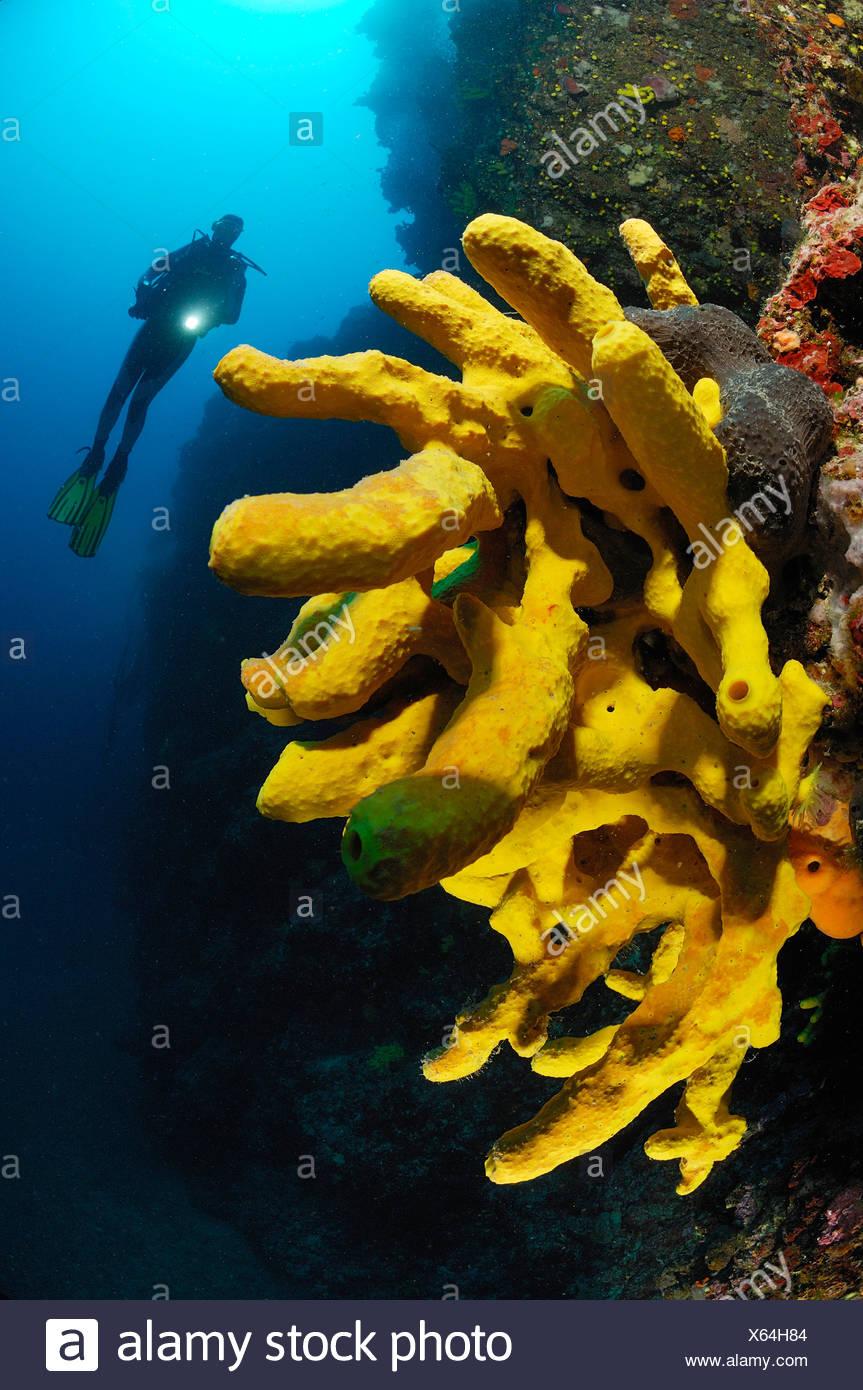 Scuba Diver and Golden Tube Sponge, Verongia aerophoba, Pag Island, Adriatic Sea, Croatia - Stock Image