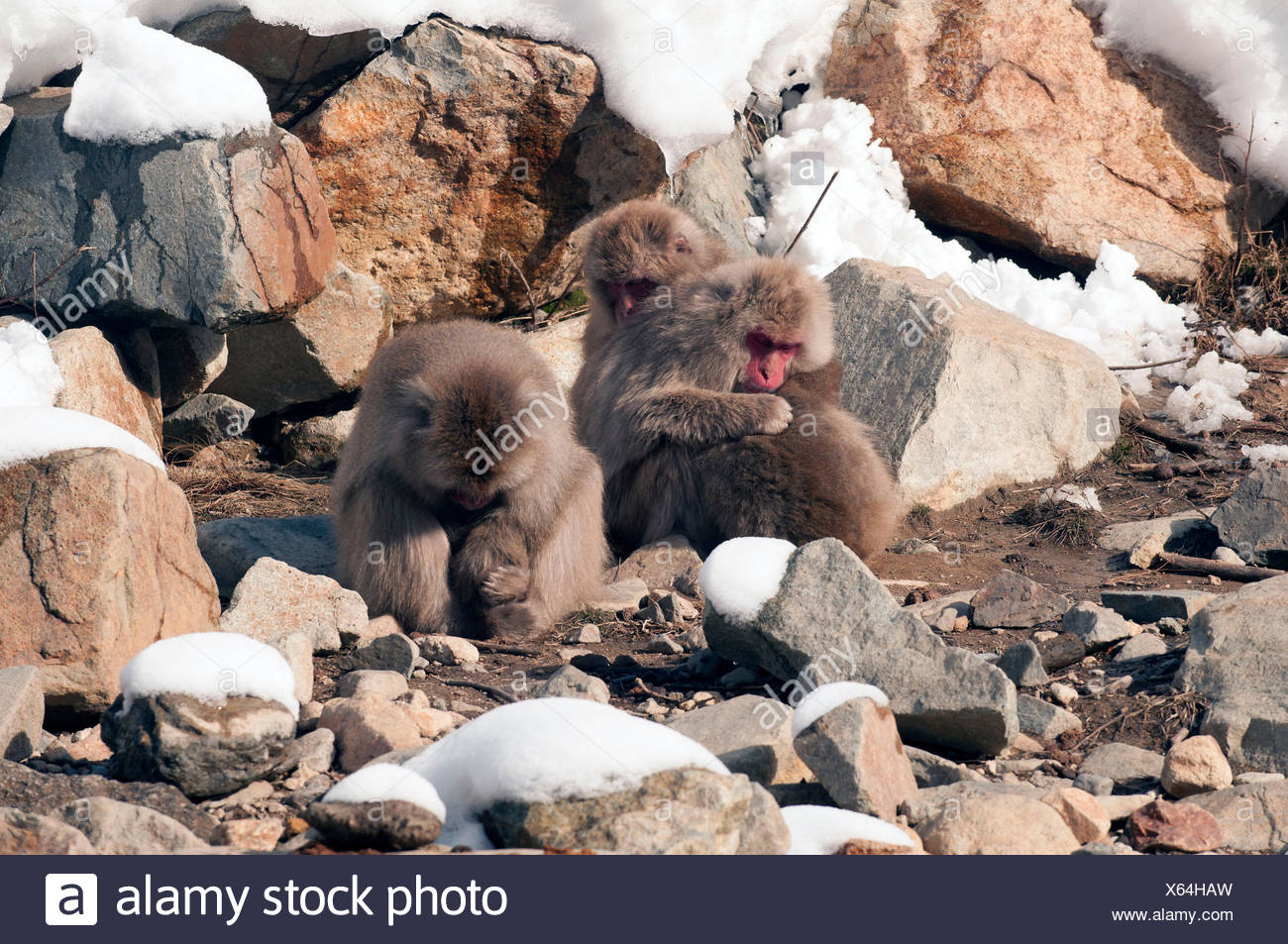 Japanese macaque or snow japanese monkey (Macaca fuscata), sleeping family, Japan Stock Photo