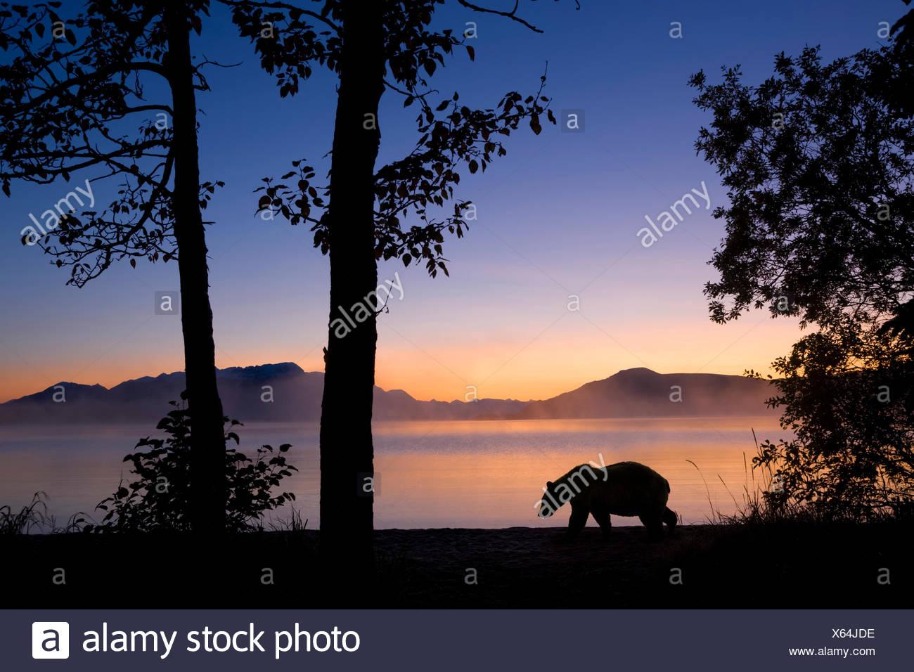Sunrise,Alaska,Grizzly Bear,Katmai Np - Stock Photo