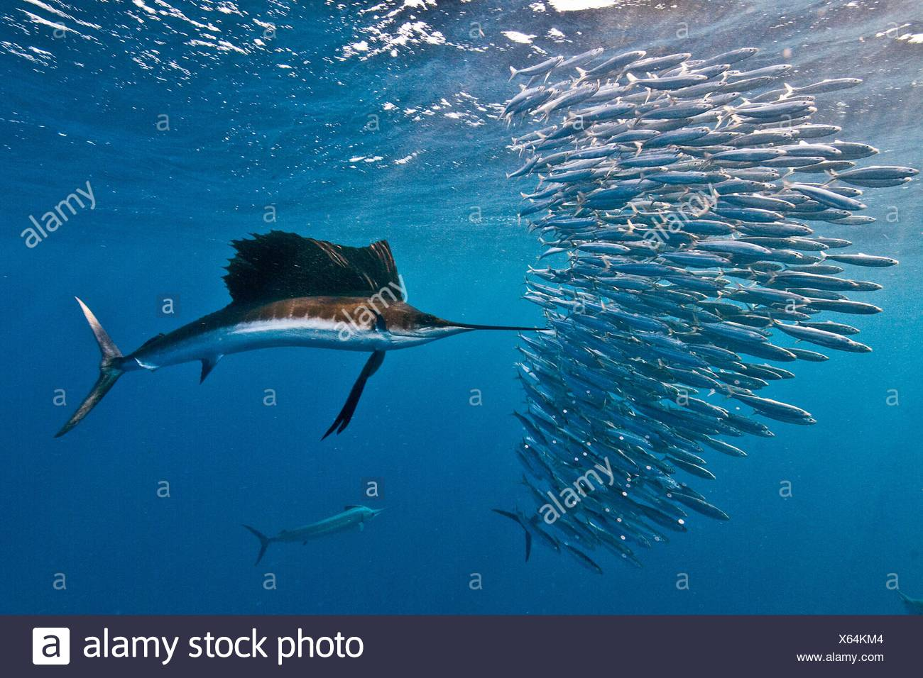Atlantic sailfish (Istiophorus albicans) attacking a sardine baitball hoping to strike one with its serrated bill Isla Mujeres - Stock Image