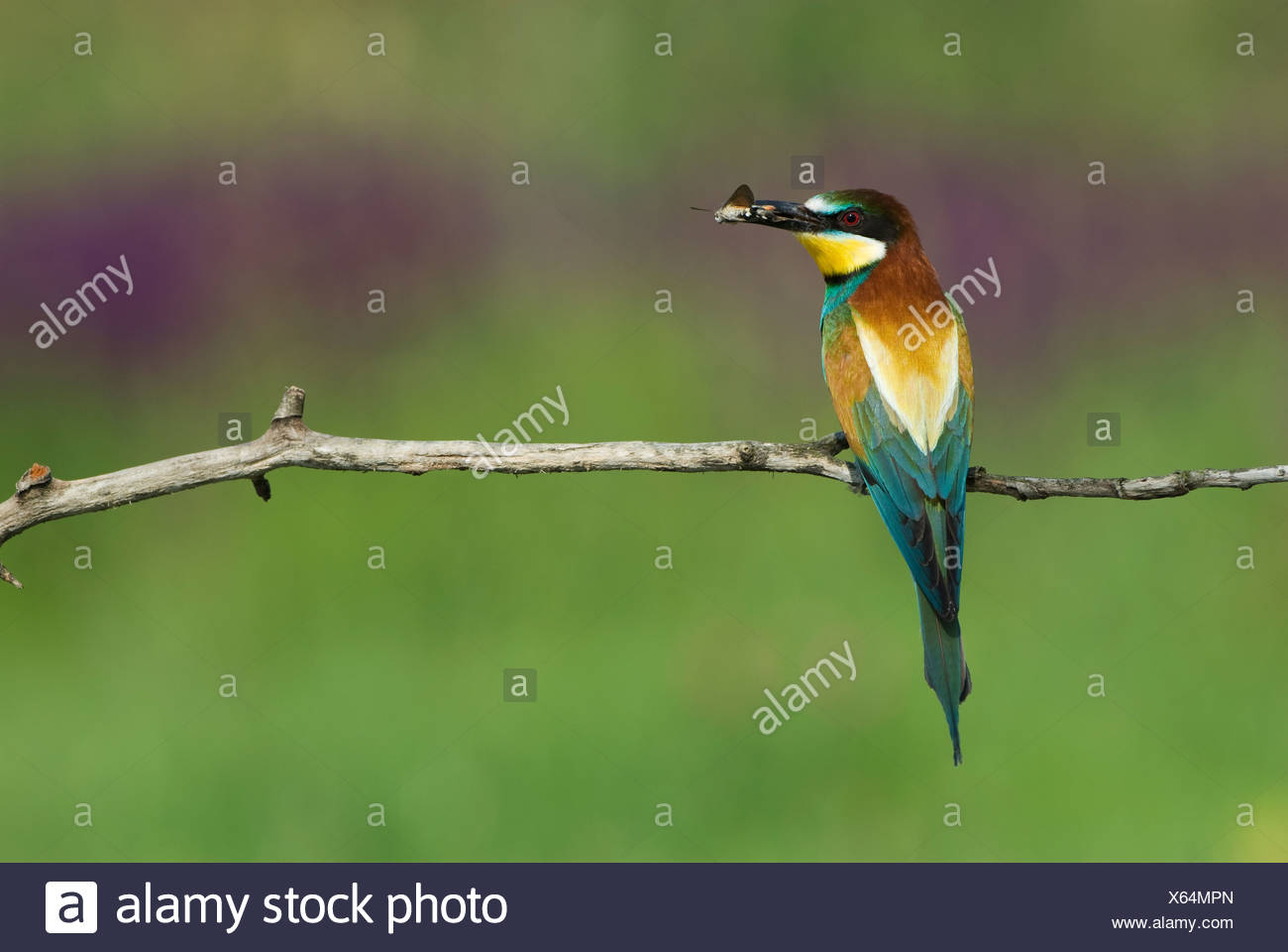 Europe, Hungary, F?geludden, View of European bee eater holding insect in mouth - Stock Image