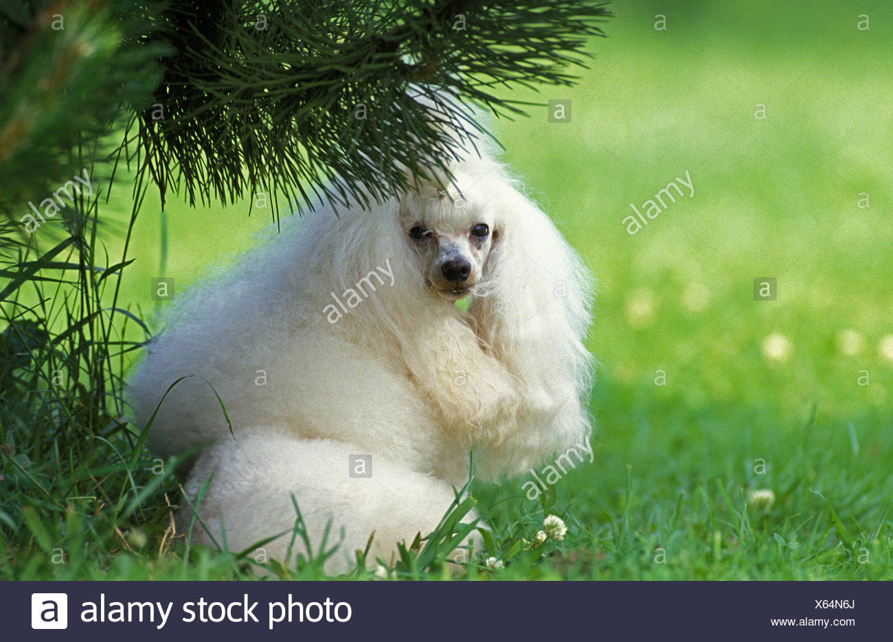 White Miniature Poodle  on Grass - Stock Image