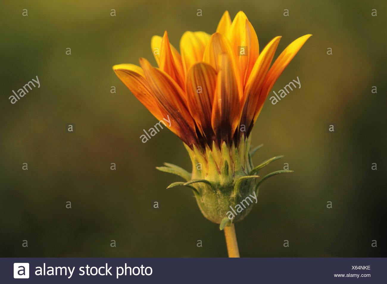 Yellow Aster. Family Asteraceae. Pune, Maharashtra, India - Stock Image