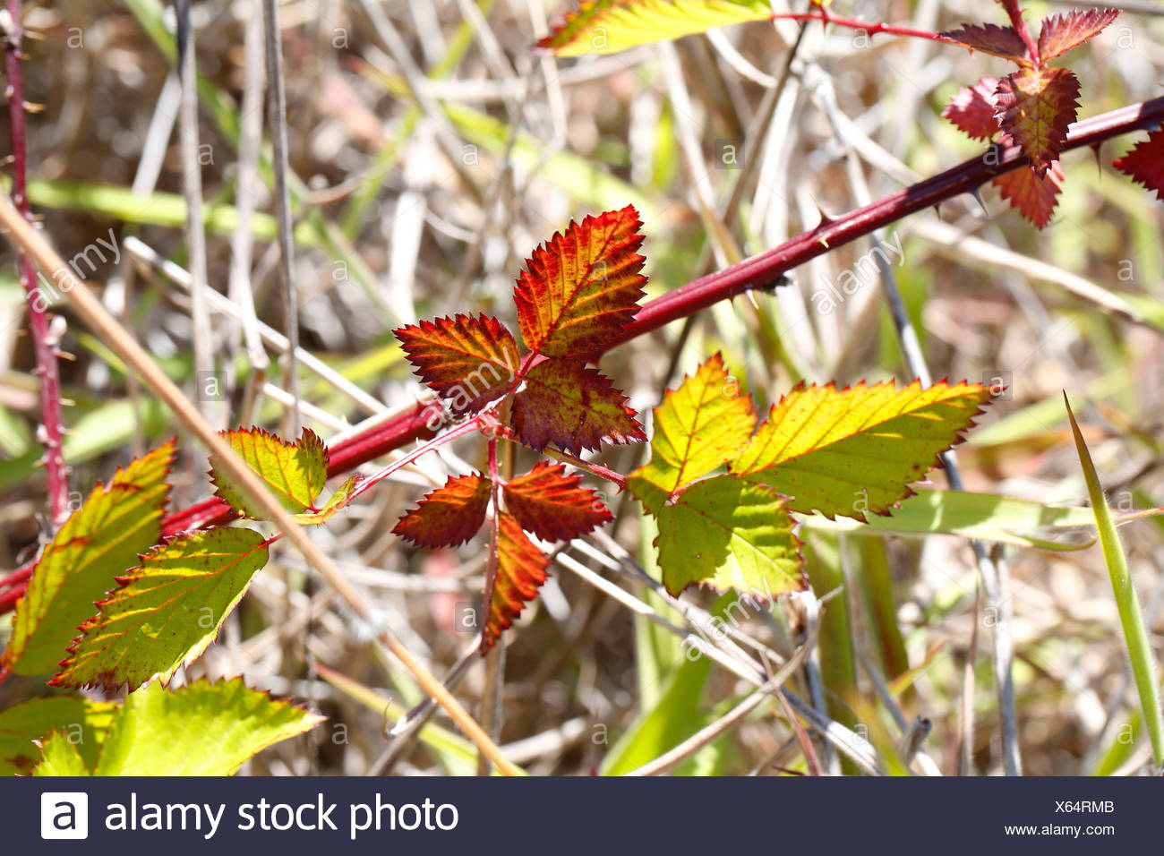 Tropical Flush, a pigment disorder on blackberry leaves, rain forest, Big Island, Hawaii, USA - Stock Image