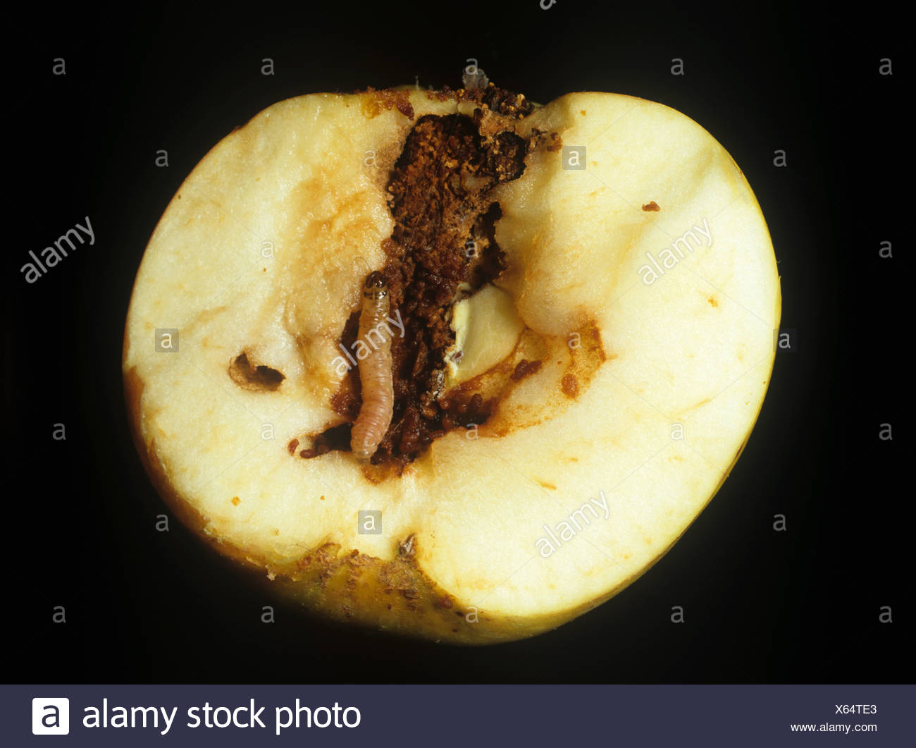 Codling moth Cydia pomonella caterpillar in a gallery in a sectioned apple fruit - Stock Image
