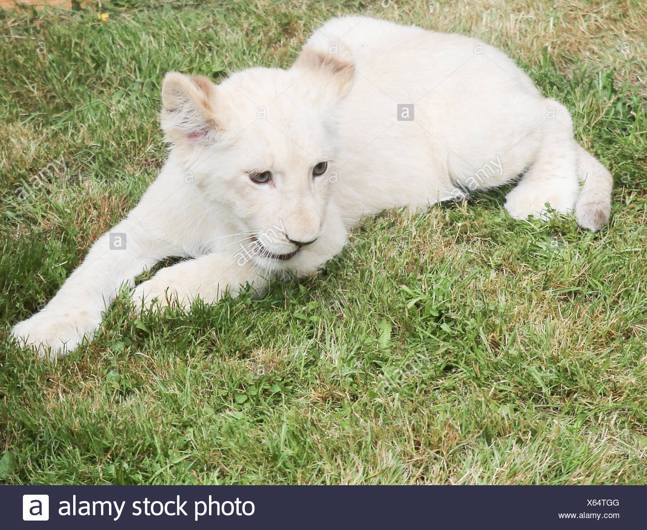 White Female Lion Cub In Zoo Magdeburg Stock Photo 279160912 Alamy